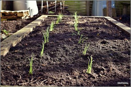 Planting out my onions