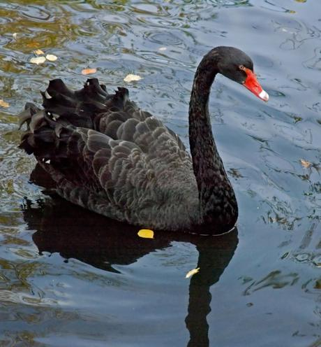 What is a Black Swan Event?
