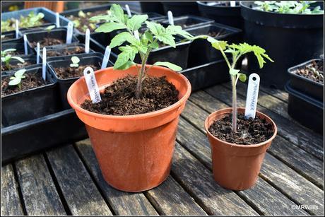 Potting-on tomato plants