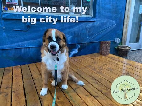 Hanging with Hazel: Big dog in the city