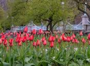 Spring Tulip Bloom 2020