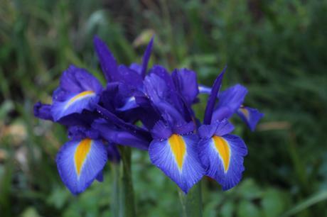 Six on Saturday – Irises