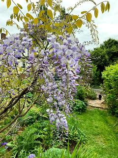 A wisteria called Patience
