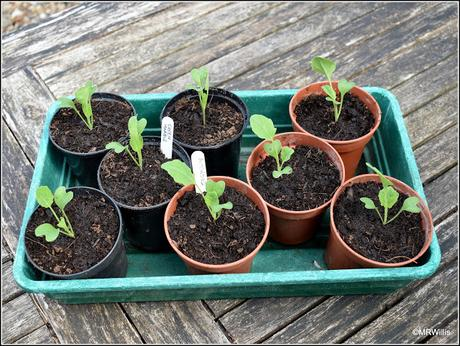 Potting-up Brussels sprouts