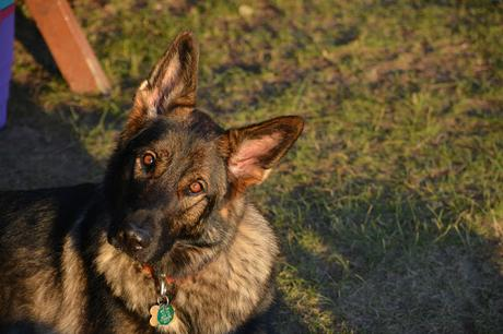 COVID-19 and your pet: Can my dog get COVID-19 coronavirus?