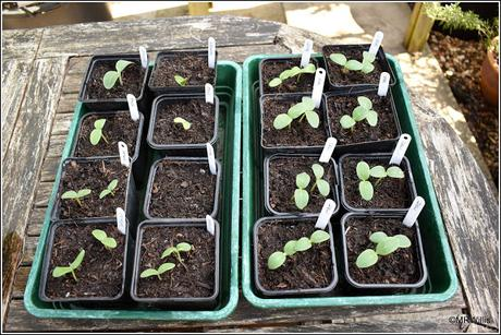 Sowing cucumbers