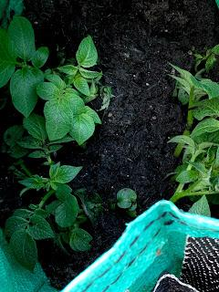 The Veg Diaries 2020 - Let's talk about spuds....