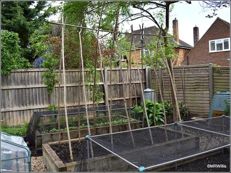 Planting-out Runner Beans