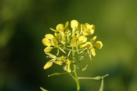 Everything You need to know about Benefits of Mustard oil?