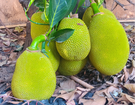 Jackfruit: Discover the versatality of the largest tree borne fruit in the world