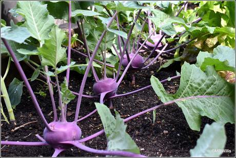 Harvesting Kohlrabi