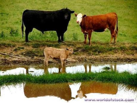Bull, cow, and their young'un: image via worldofstock.com