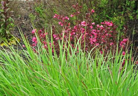 Here come the ornamental grasses paperblog for Ornamental sea grass