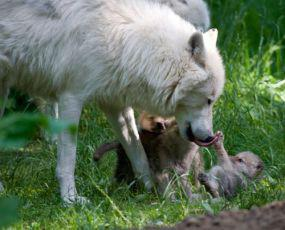 Five New Arctic Wolf Pups At Denmark's Knuthenborg Safari Park Think Life's One Big Yawn