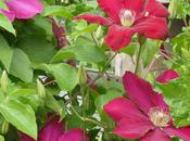 Cherry-Red Clematis