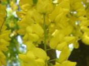 Plant Week: Laburnum Anagyroides