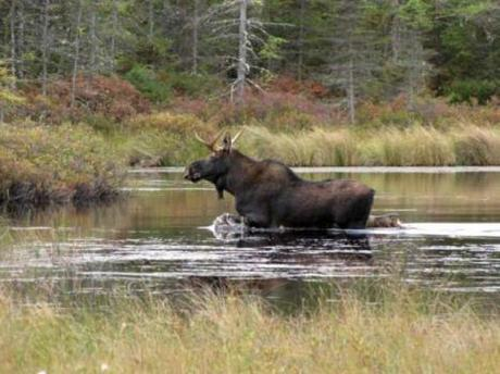 Moose Swims Reservoir To Escape Fire