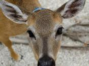 Deer Being Outlawed Pets Arkansas