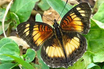 BUTTERFLIES OF KIBALE FOREST NATIONAL PARK, Uganda, Part 1, Guest Post by Karen Minkowski