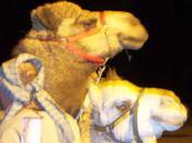 Gnats Camels