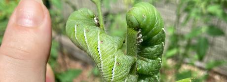 The very hungry reclassified caterpillar