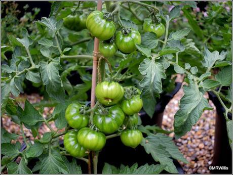 Tomato update