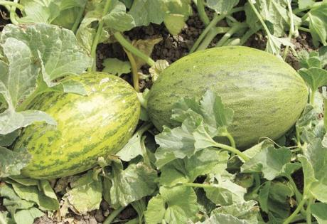 Camouflage Melon