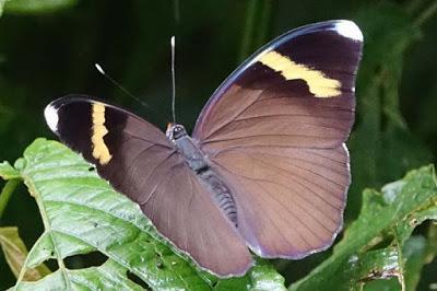 BUTTERFLIES OF KIBALE FOREST NATIONAL PARK, Uganda, Part 3, Guest Post by Karen Minkowski