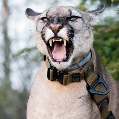 story of a pet Puma in Poland !