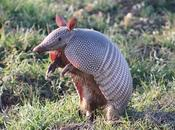 Armadillos, You, Your Property Baton Rouge Pest Control