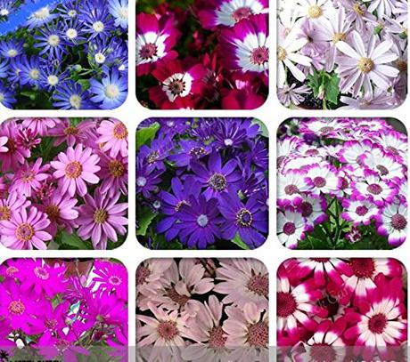 Solution Seeds Farm 50 Seeds Mixed 9 Colors Florist's Cineraria Seeds,Rare Blue Red Pink Purple White Flowers.