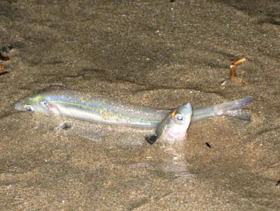 TONS OF FISH ON THE BEACH: A CALIFORNIA GRUNION RUN, Guest Post by Caroline Hatton