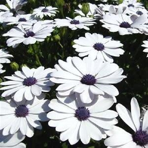 50 WHITE AFRICAN CAPE DAISY Dimorphotheca Sinuata Flower SeedsComb S/H & Gift