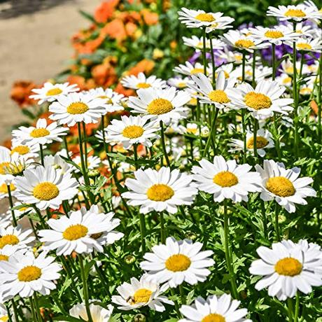 Outsidepride Chrysanthemum Creeping Daisy - 5000 Seeds