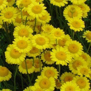 Outsidepride Marguerite Daisy Yellow - 5000 Seeds