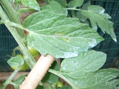 Blight on Tomatoes