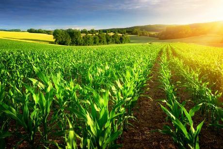 photo-sunlit-rows-of-corn-plants