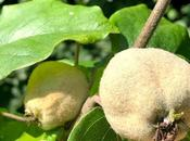 Tree Following August 2020 Quince Count Continues