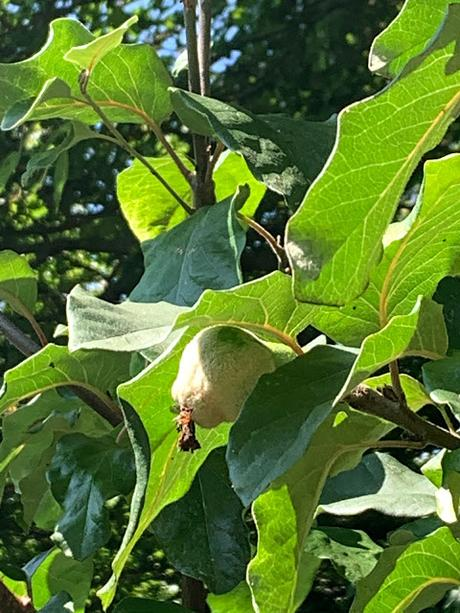 Tree following August 2020 - the quince count continues