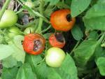 Blossom Tomatoes