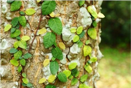 13 Different Types of Ivy Plants (With Pictures)