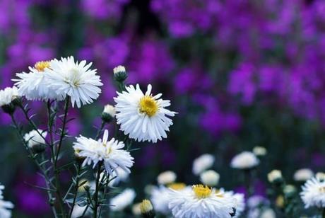 Snowbank False Aster plant