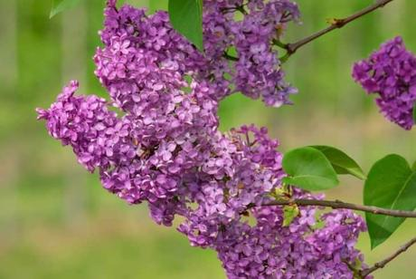 Lilacs plant