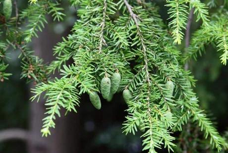 Canadian Hemlock plant