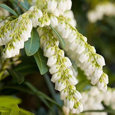 2 Gallon - Mountain Snow Pieris - Evergreen Shrub - Bloom Clusters Of Small Bell Shaped White Flowers