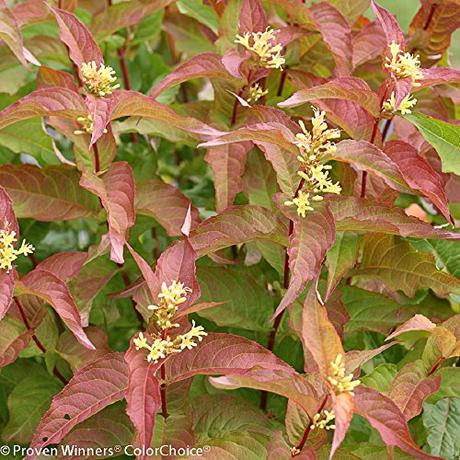 15 Tall Shrubs For Shade That You Can Have in Your Garden