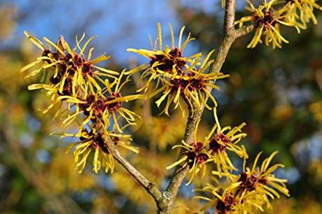 American Witch hazel tree large flowering shrub Yellow flowers LIVE PLANT