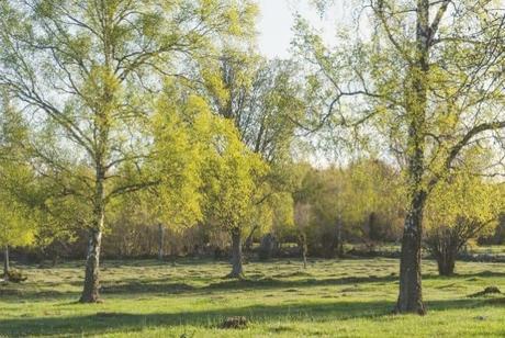 birch-trees-springtime