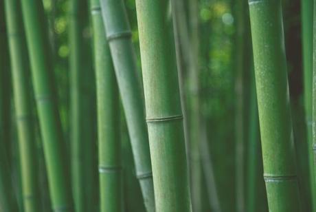 Japanese Cane Bamboo