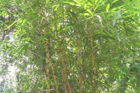 Japanese Arrow Bamboo